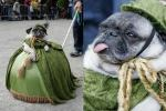 Dame Puggy Pug!